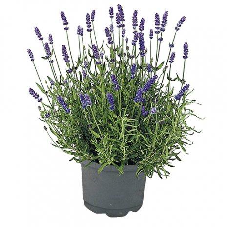 Lavendel - Paars - per stuk