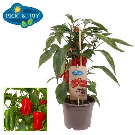 Snack Pepper Plant